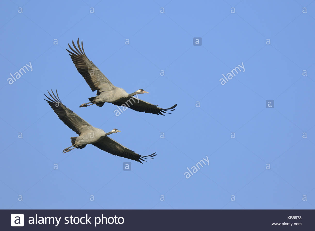 Cranes, Grus Grus, Germany Stock Photo