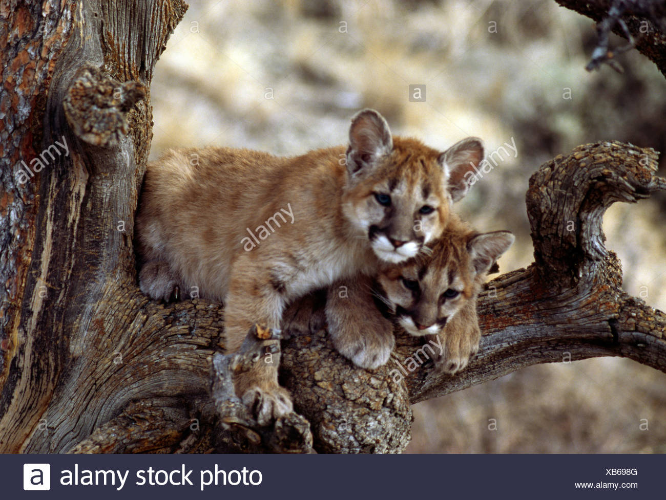 Two Cougar cubs (Puma concolor) resting in tree - Stock Image