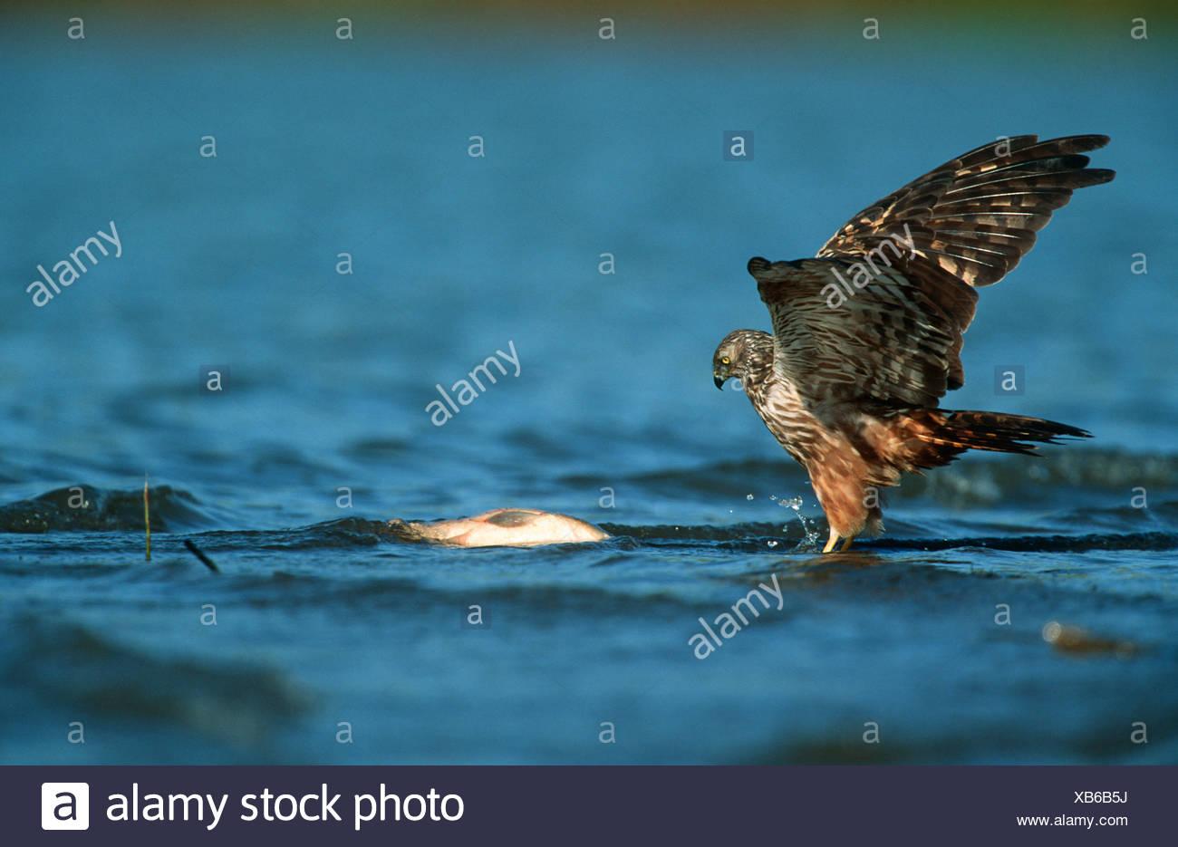 African Marsh-Harrier (Circus ranivorus) Hunting in Water - Stock Image