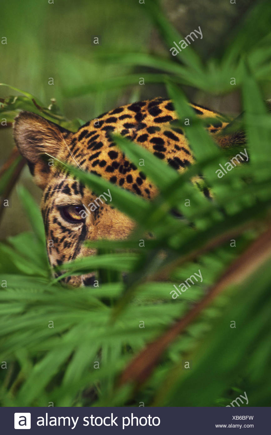 A jaguar head seen behind foliage Panthera onca Belize Belize - Stock Image
