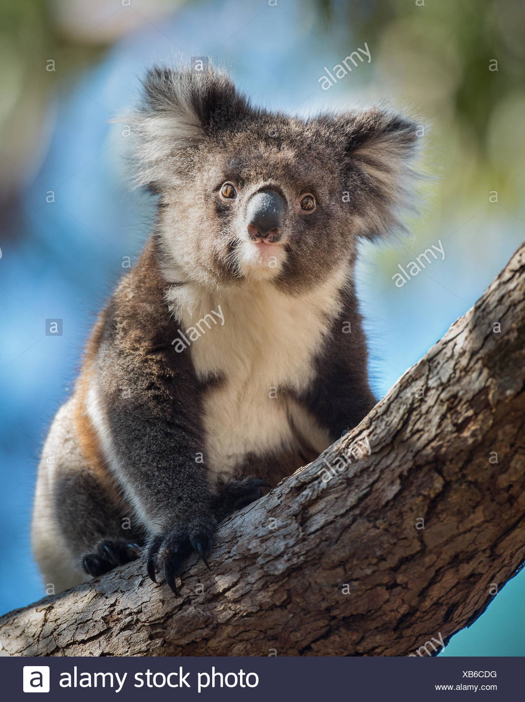 A koala, Phascolarctos cinereus, sitting upright in a  tree. - Stock Image