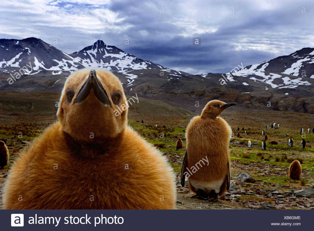 King Penguin chicks, South Georgia Island, UK - Stock Image
