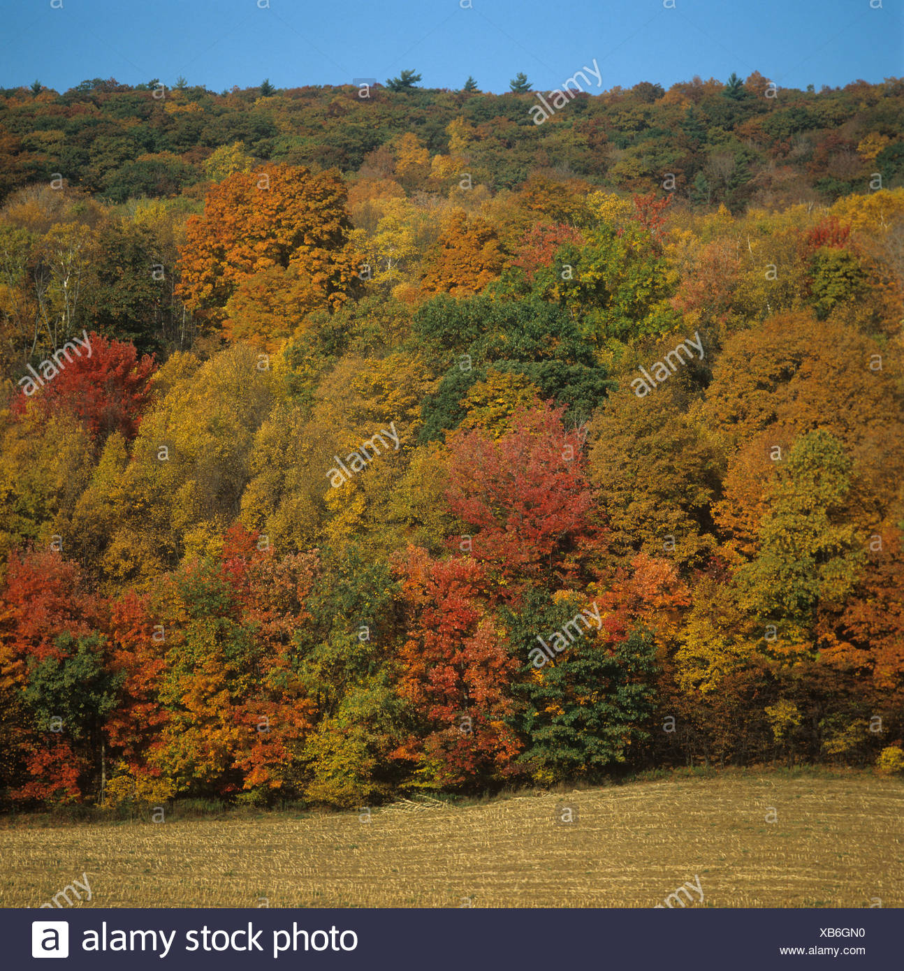 Woodland trees in bright autumn (fall) colours, upstate New York, USA - Stock Image