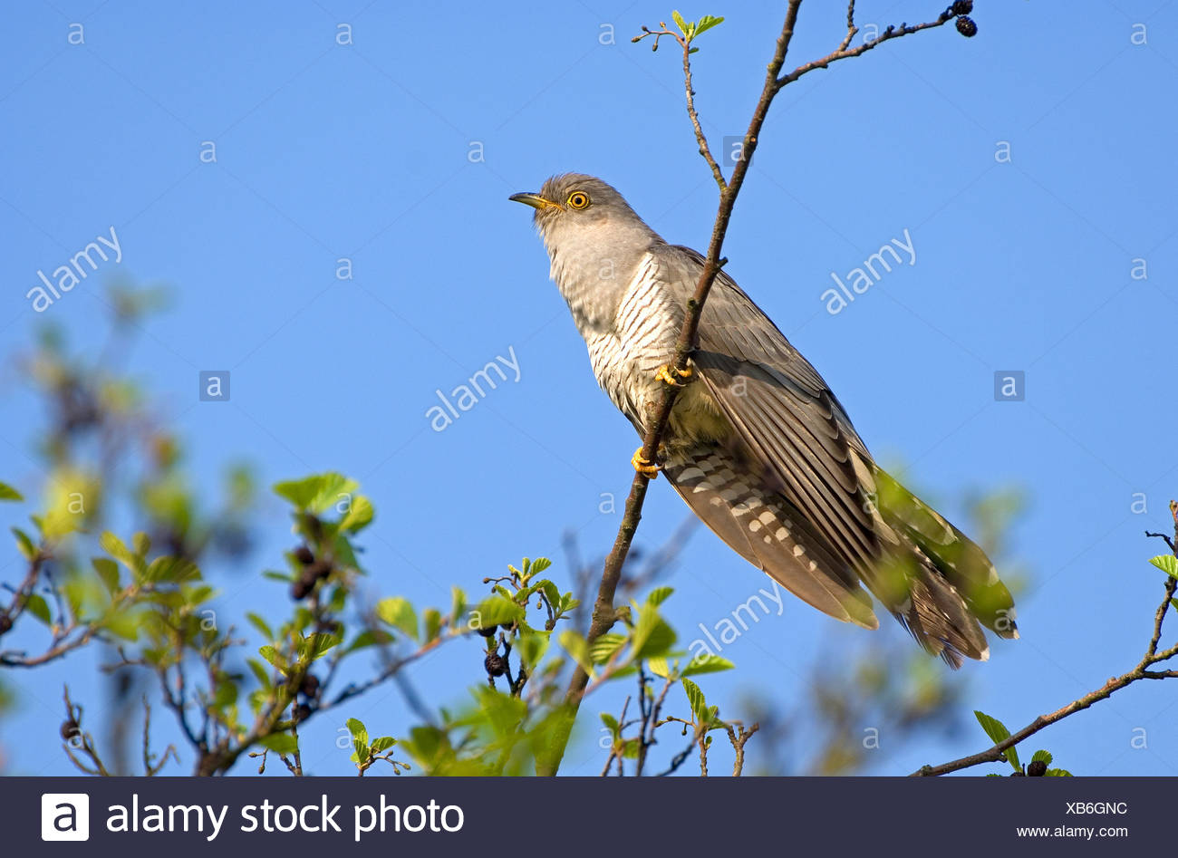 Common Cuckooperched on a  on twig / Cuculus canorus - Stock Image