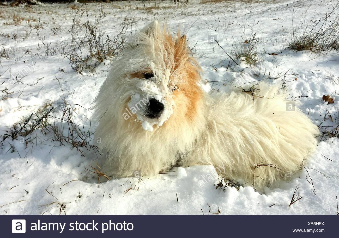 Snow Hairy