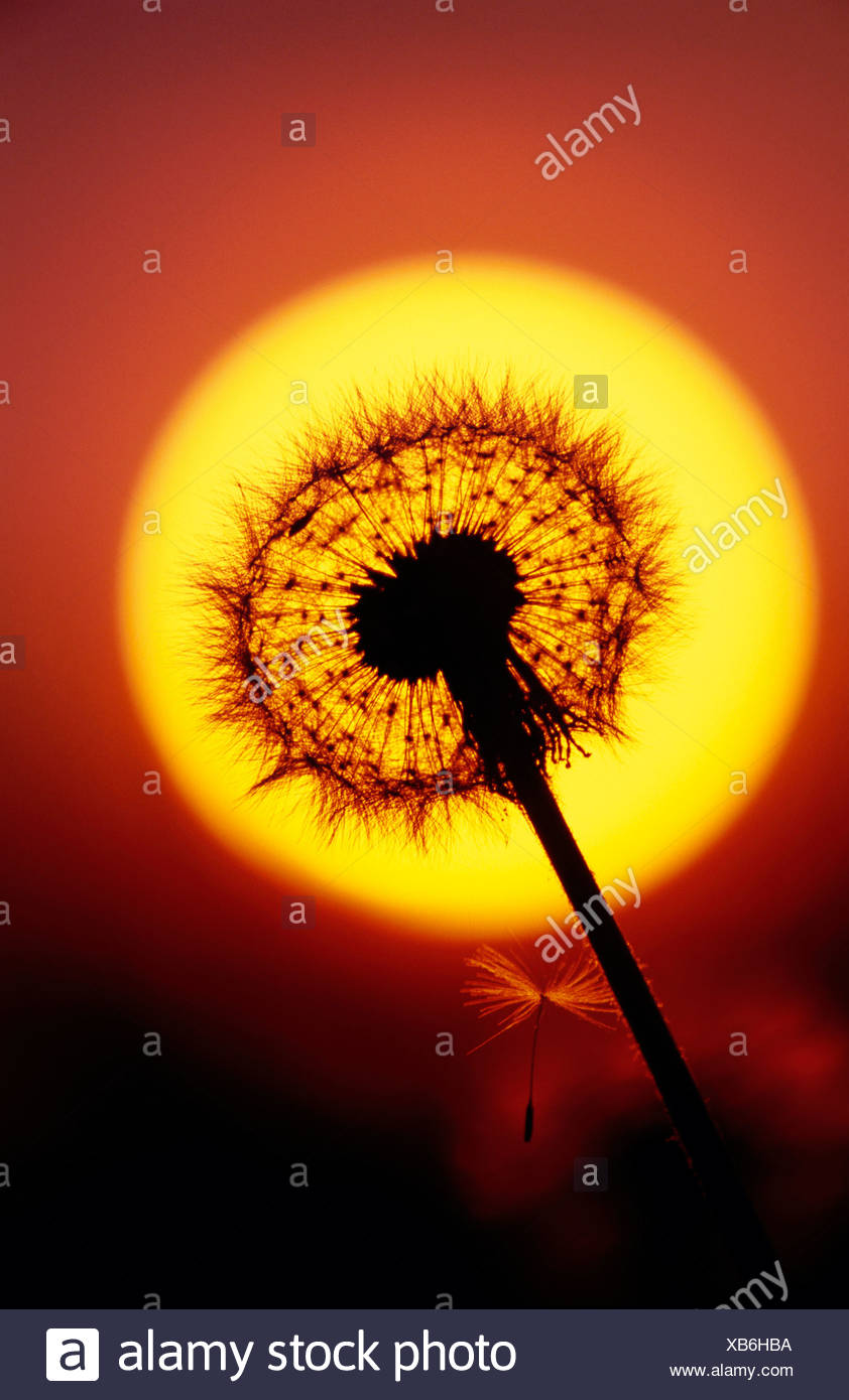 Close up of Dandelion Gone to Seed and Sunset Alaska - Stock Image