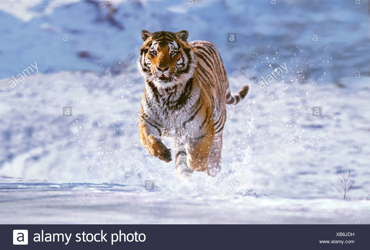 Siberian tiger running in the snow China - Stock Image