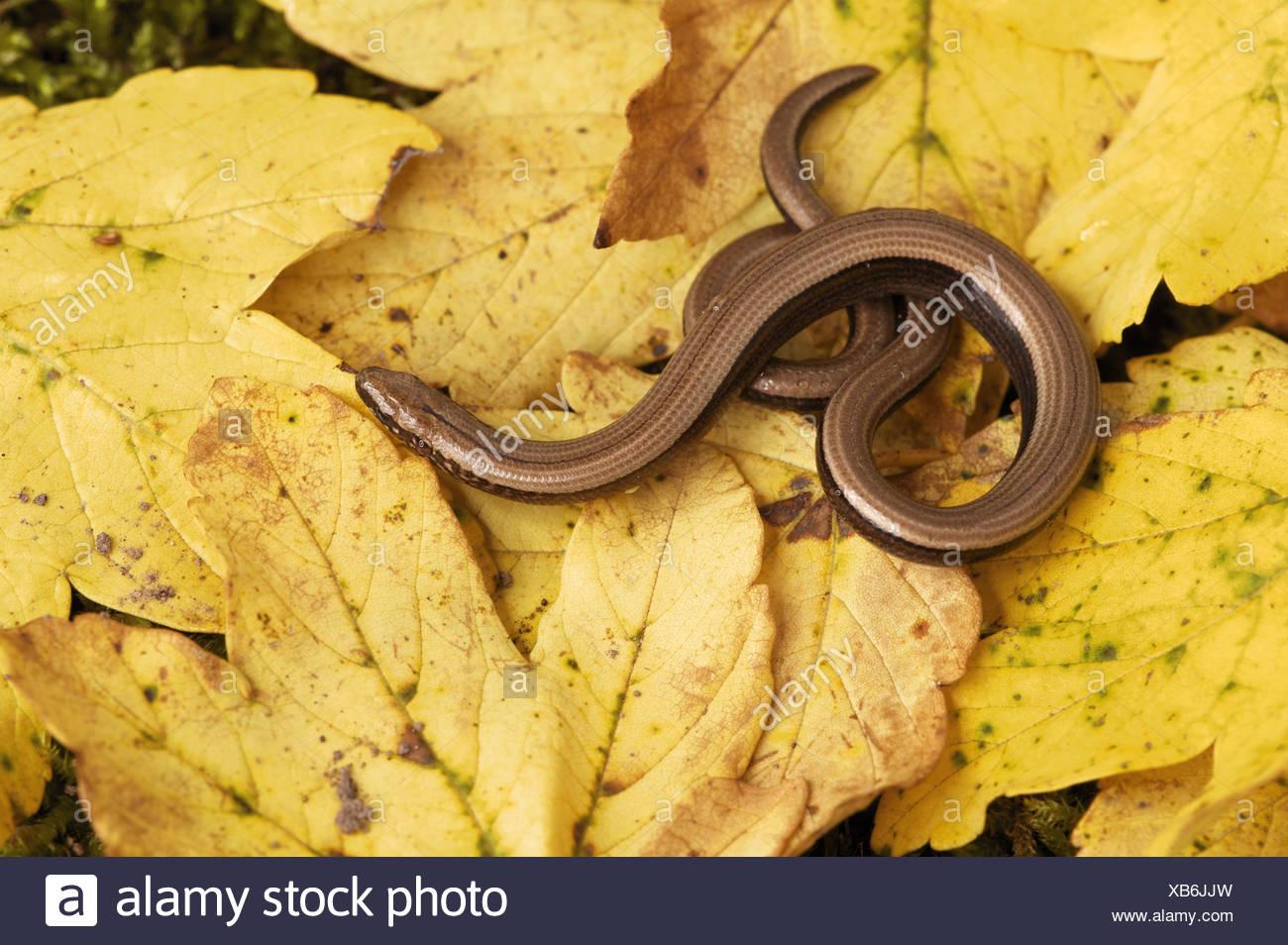 Slowworm (Anguis fragilis) on leaf litter Stock Photo