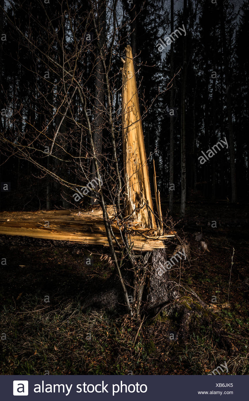 Germany, Bavaria, tree stumps of spruces after  storm front 'Niklas' - Stock Image