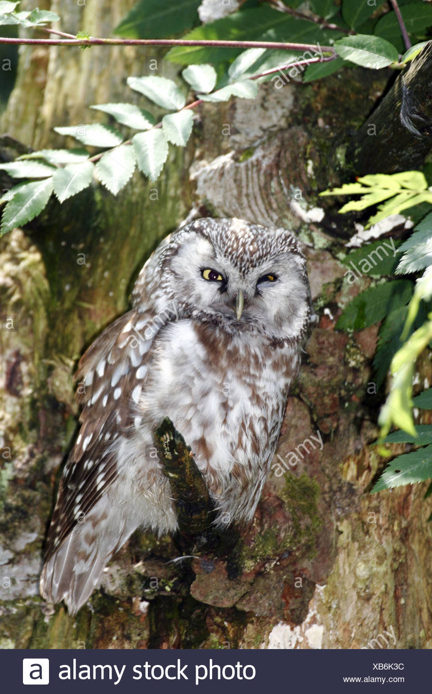 zoology / animals, avian / bird, Strigidae, Tengmalm's Owl (Aegolius funereus), sitting on branch, Bavarian Forest, Germany, distribution: Europe, Asia, North America, Additional-Rights-Clearance-Info-Not-Available - Stock Image