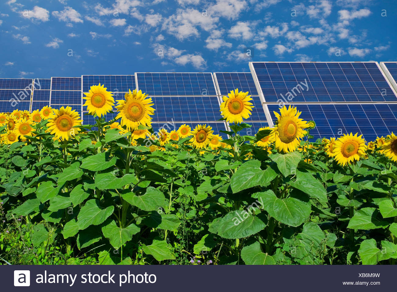 Solar panels in field of sunflowers - Stock Image