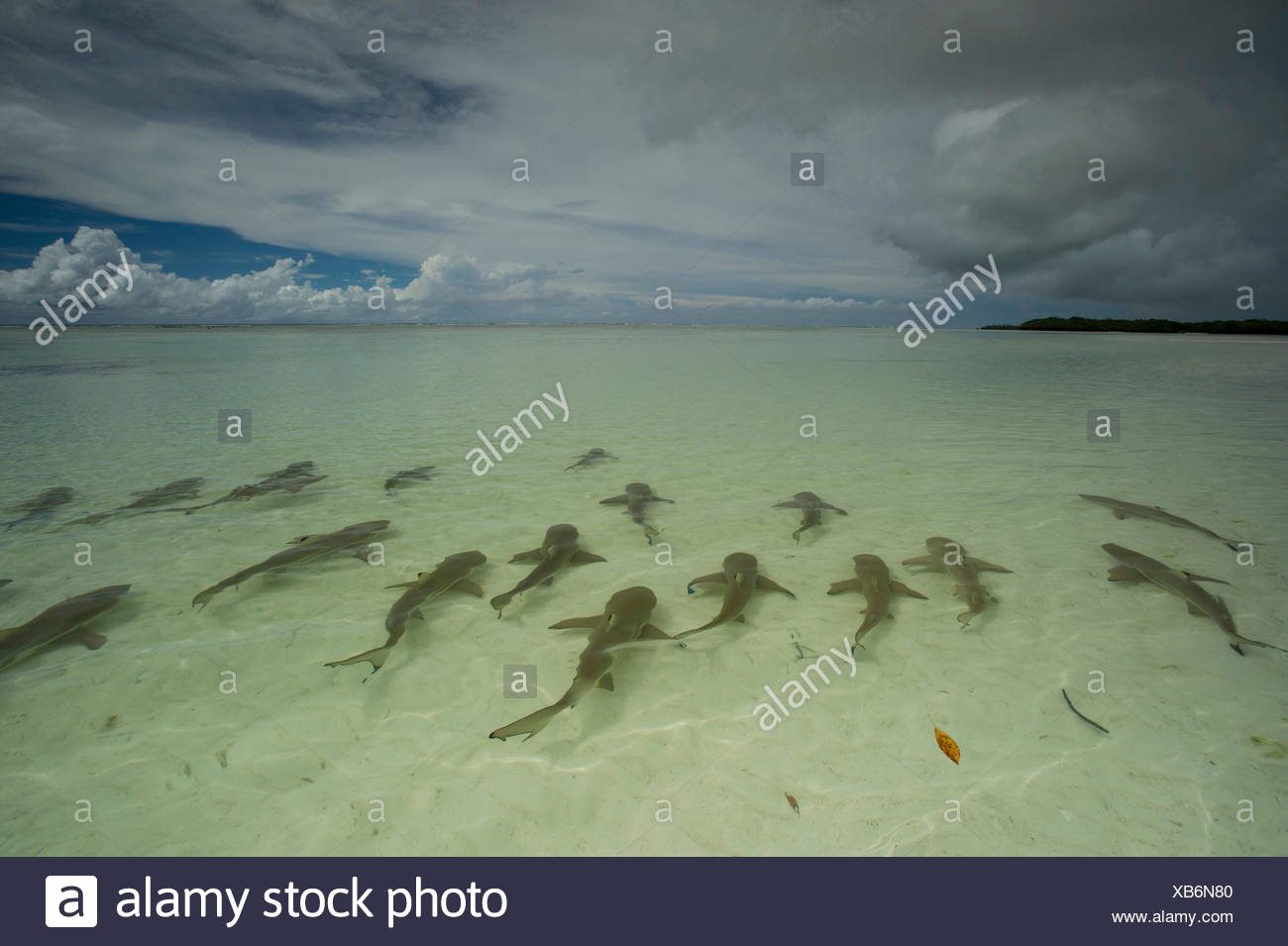 Blacktip sharks swim in shallow waters off Picard Island