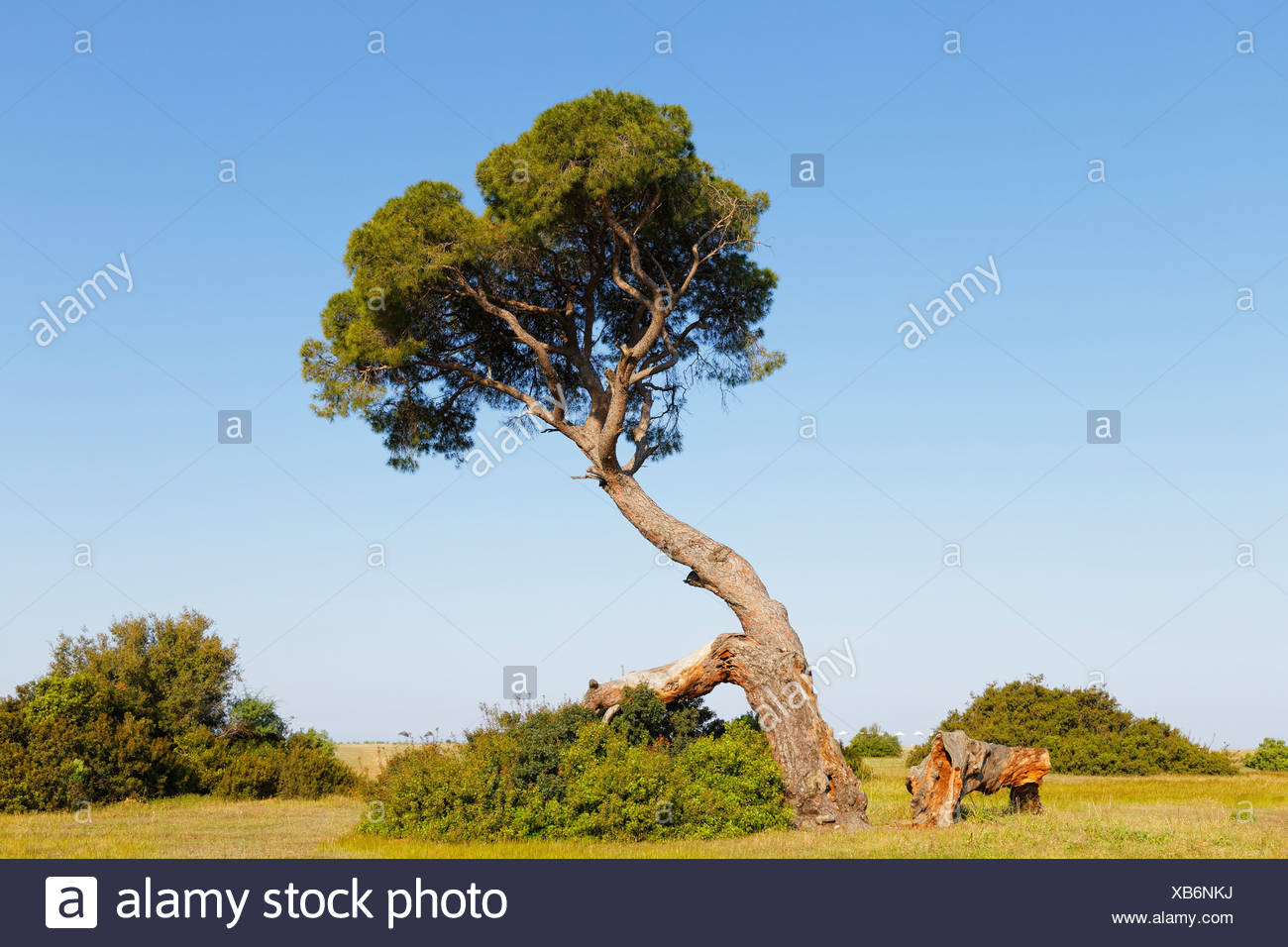 Pine tree on the beach of Olympos, Olimpos Beydağları National Park, Çıralı, Lycia, Province of Antalya, Turkey - Stock Image