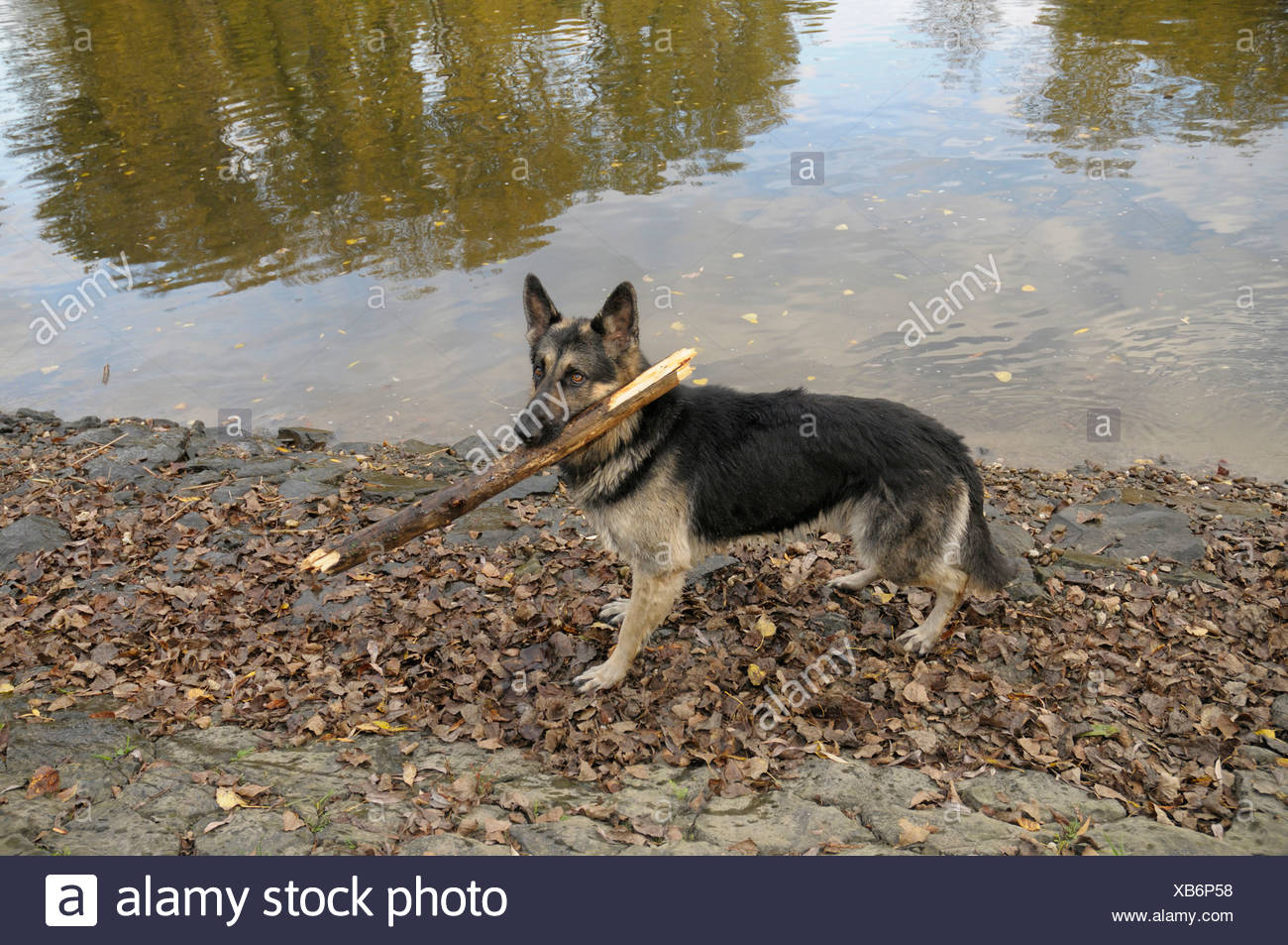 German Shepherd dog standing with a large branch in its mouth on a riverbank - Stock Image