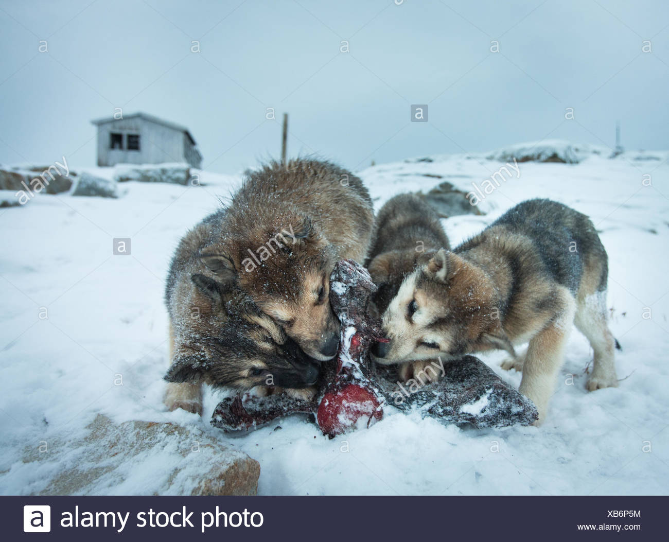 Sled dogs are fed killer whale meat in the small Inuit settlement of Isortoq in East Greenland. Stock Photo