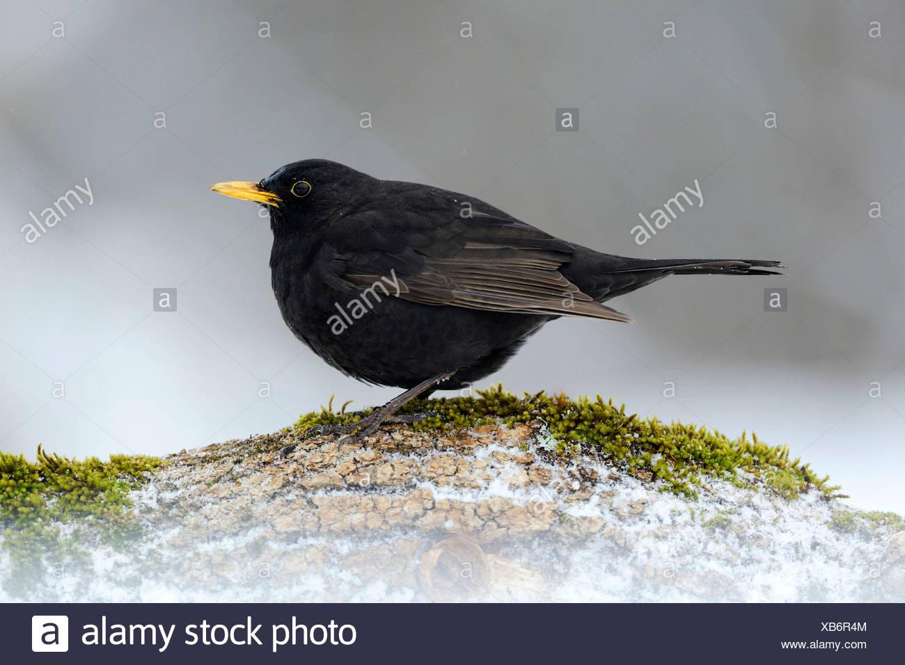 Blackbird (Turdus merula), male, Bulgaria, Europe - Stock Image