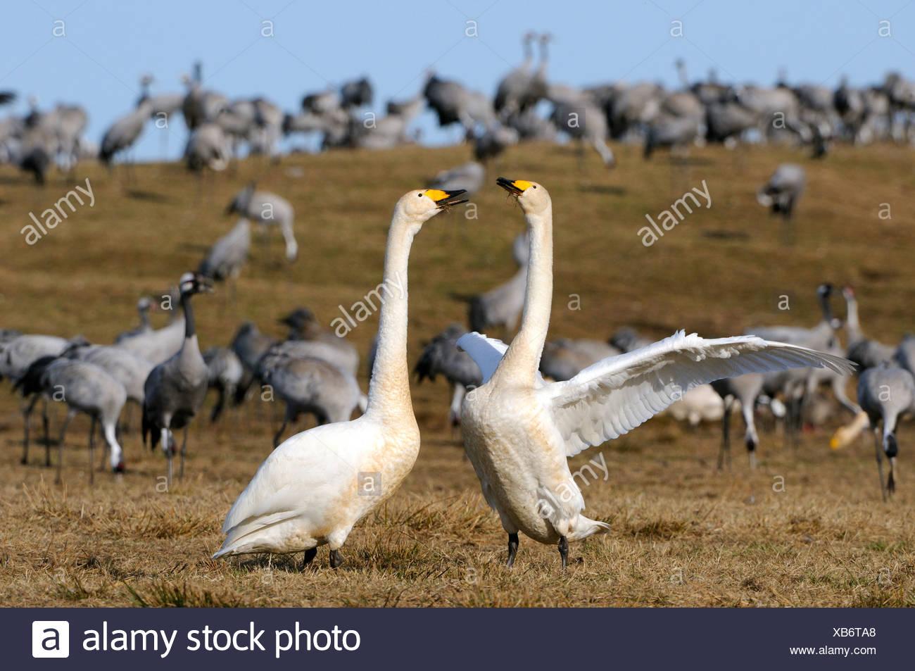 Whooper swans (Cygnus cygnus), courting breeding pair, and cranes (Grus grus), Hornborgasjoen, Vaestergoetland, Sweden - Stock Image