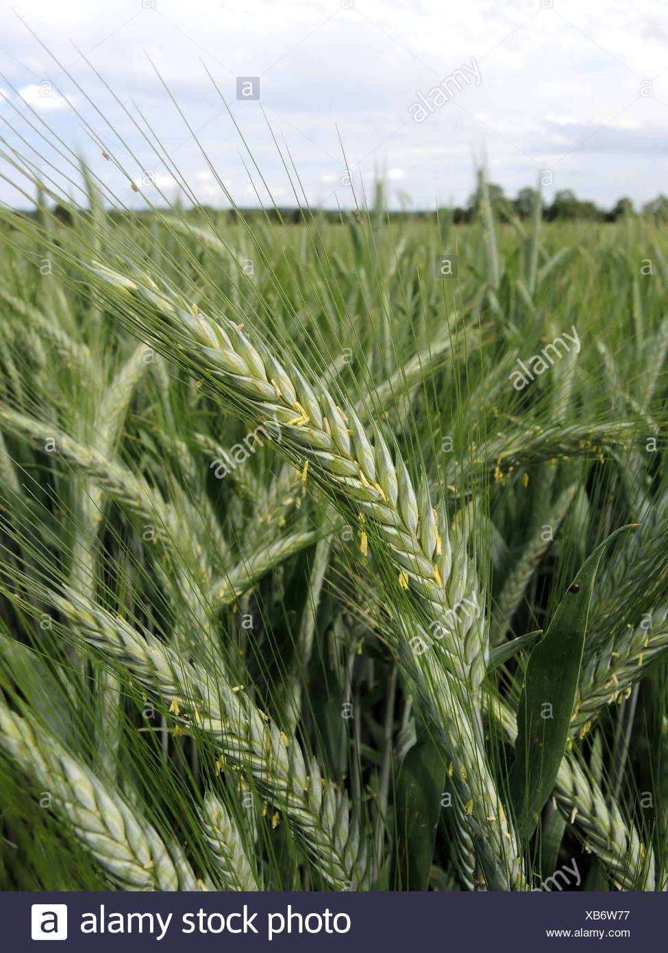 of triticale stock photos of triticale stock images alamy