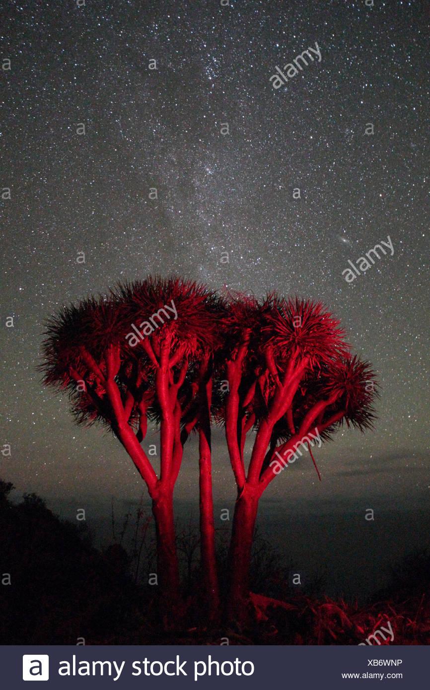 Dragon tree or dragon blood tree, Dracena draco, beneath the Milky Way. - Stock Image