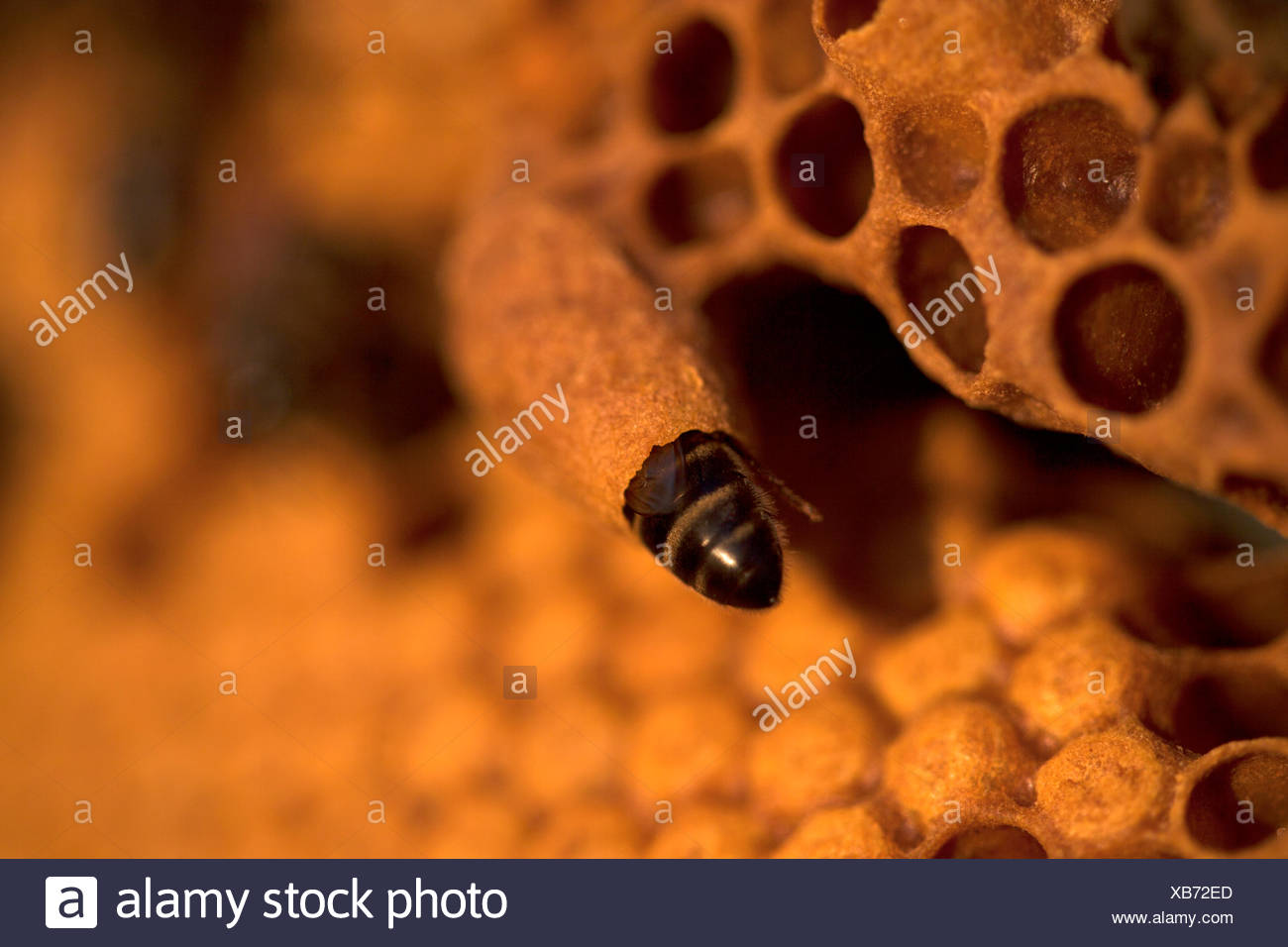 A nurse bee takes care of a queen bee egg in a queen cup on a beehive of the apiary of Puremiel beekeepers in Arcos de la - Stock Image