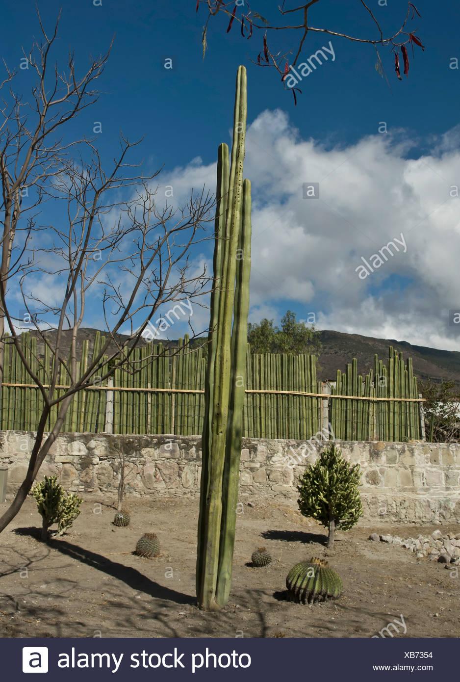 Pachycereus Marginatus, Cactus, Mexican fence post cactus. - Stock Image