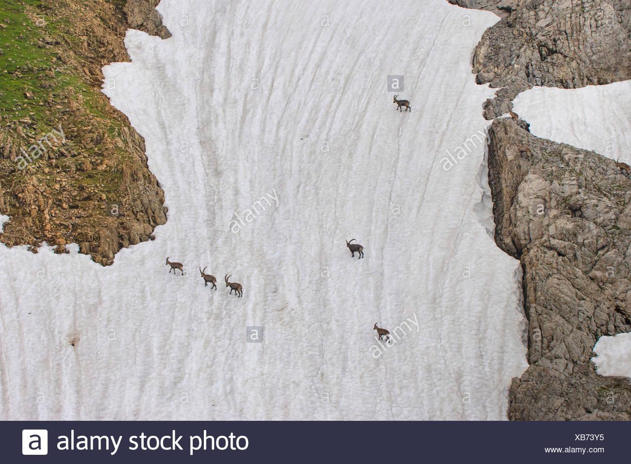 Alpen-Steinbock, Alpensteinbock (Capra ibex, Capra ibex ibex), Alpensteinboecke queren ein steiles altes Schneefeld, Schweiz, Al Stock Photo