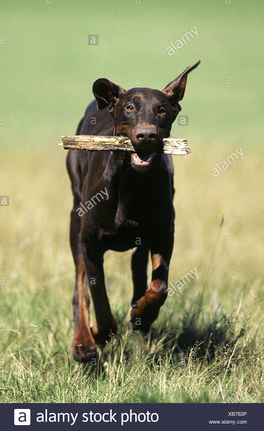 Dobermann Pinscher - Stock Image