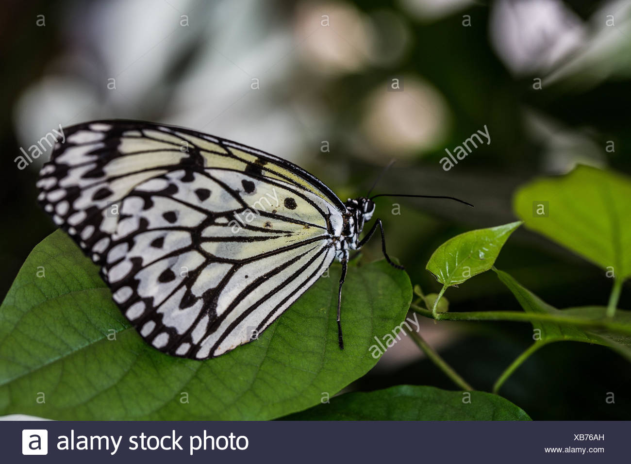 white tree nymph - Stock Image