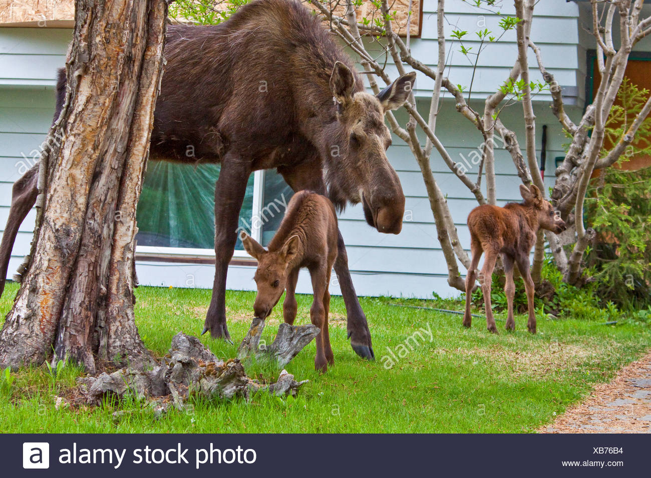 Mama Moose with her twin calves in an Anchorage residential neighborhood. - Stock Image