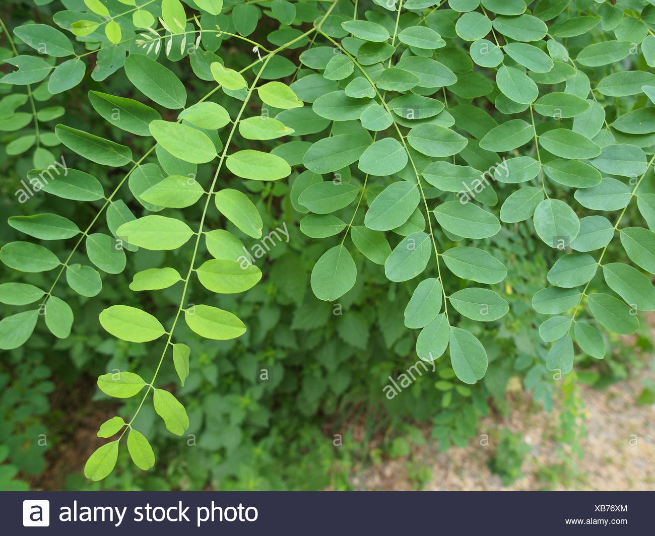 Leaves Of Acacia Tree Aka Thorntree Or Whistling Thorn Or Wattle
