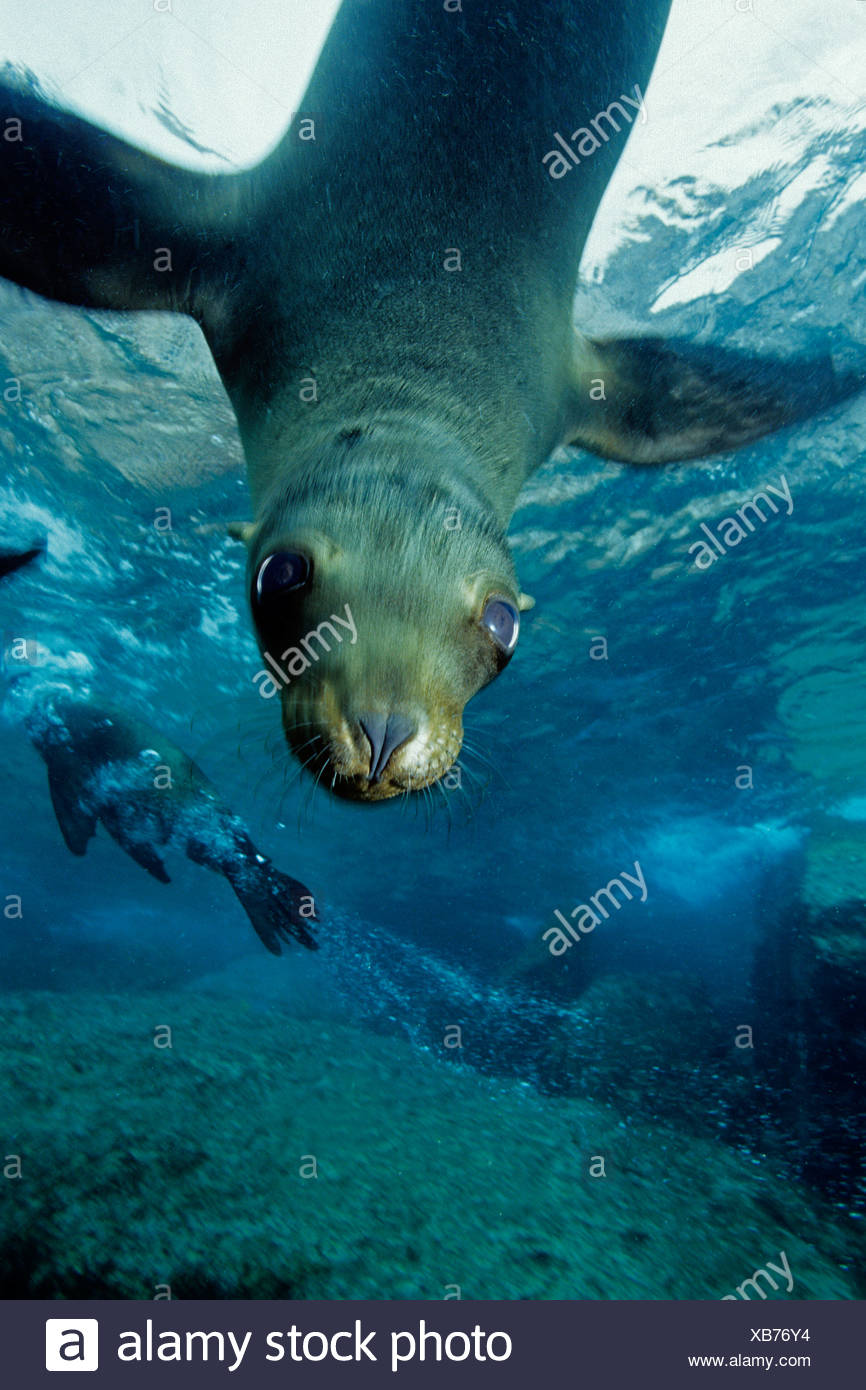 California sea lion, Los Islotes, Sea of Cortez, Baja California, Mexico, East Pacific Ocean - Stock Image