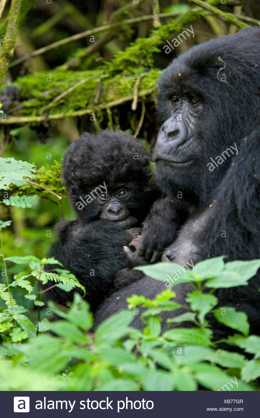 Mountain Gorilla (Gorilla beringei beringei) Mother and infant sitting the ground Volcanoes National Park, Rwanda - Stock Image