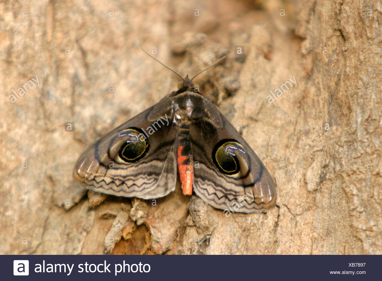 Owl moth, Brahmaea wallichii found in Madhya Pradesh, India - Stock Image