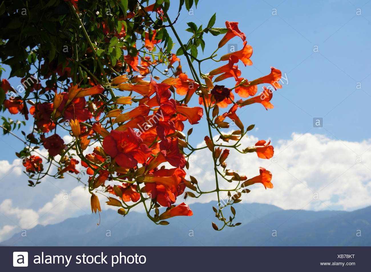ruddiness, red, flower, plant, bloom, blossom, flourish, flourishing, cirrus, Stock Photo