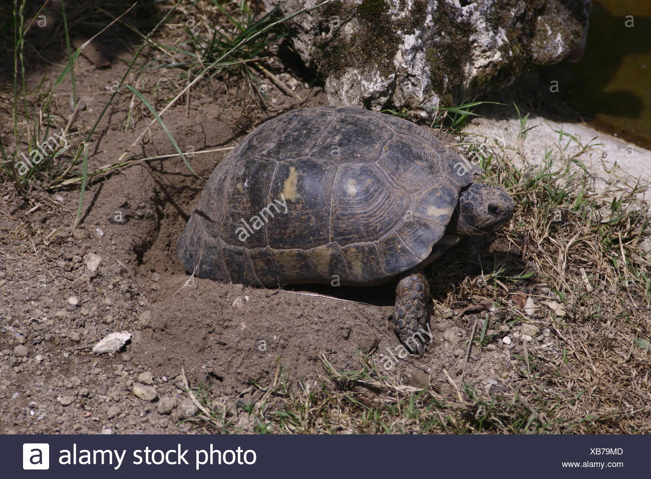 turtle lays eggs - Stock Image