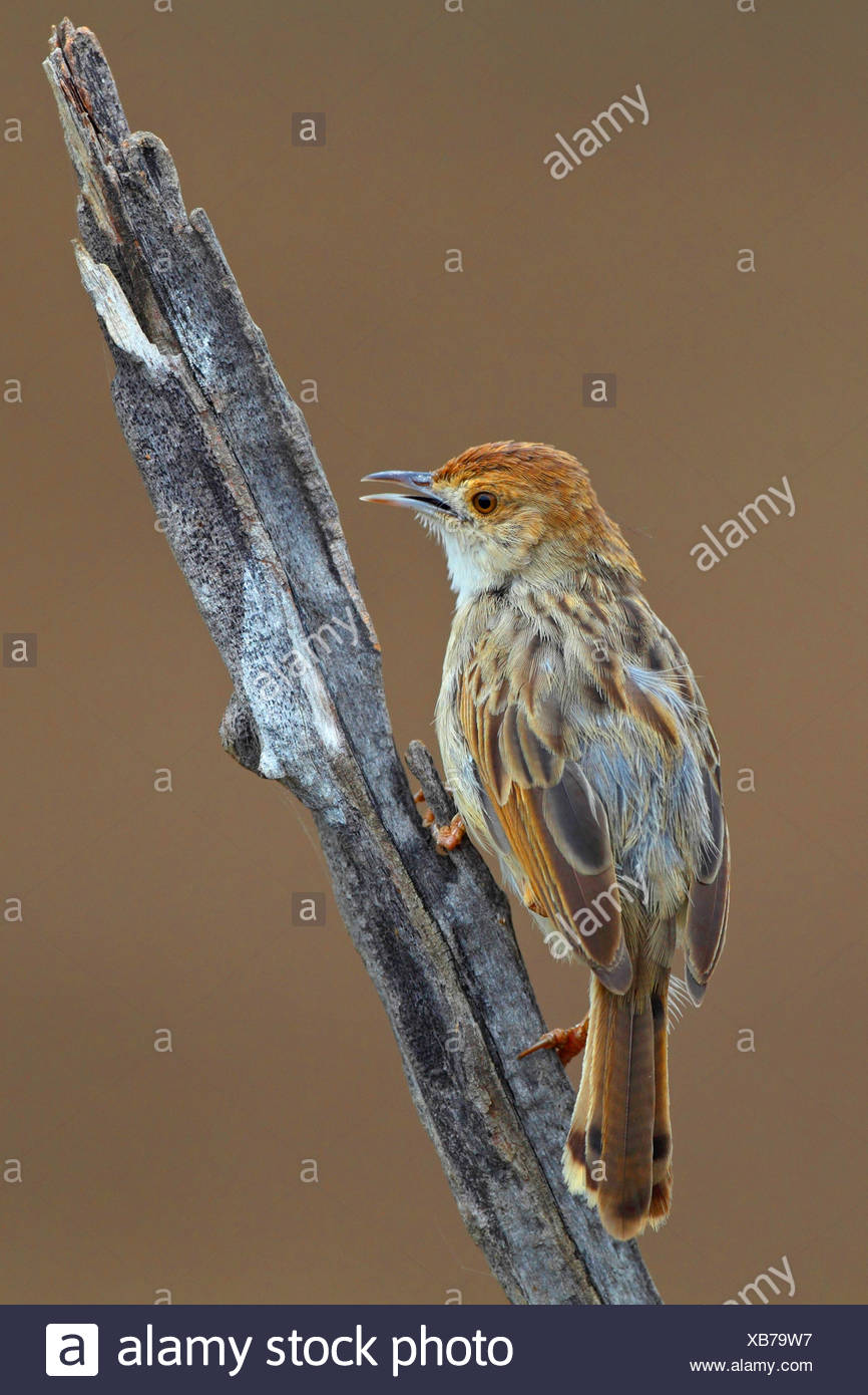 Rattling cisticola (Cisticola chiniana), sits on a dead stem, South Africa, North West Province, Pilanesberg National Park - Stock Image