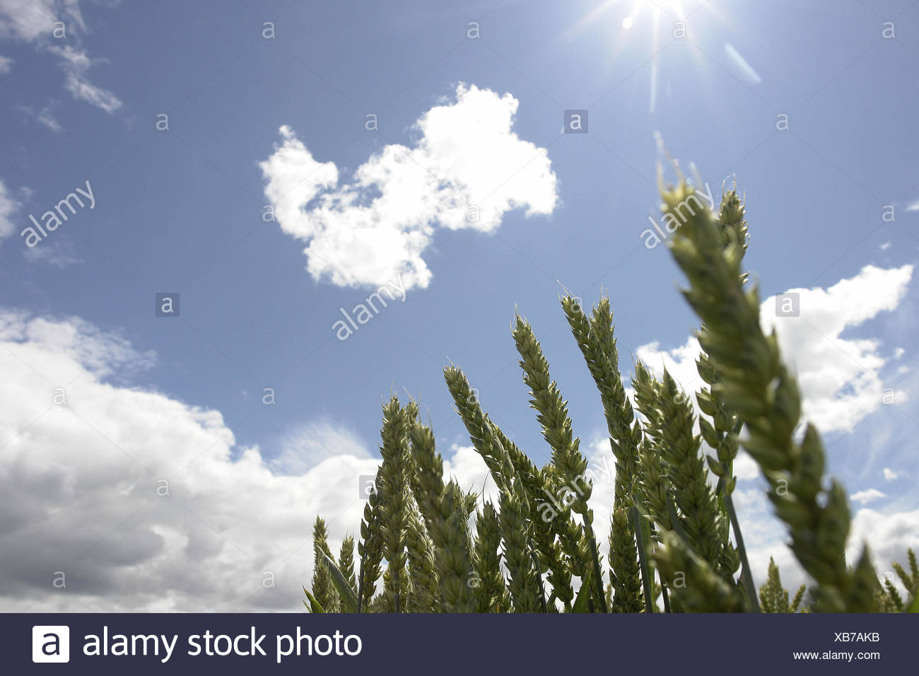Grain Ears Sky The Sun Clouds Medium Close Up Detail Stock