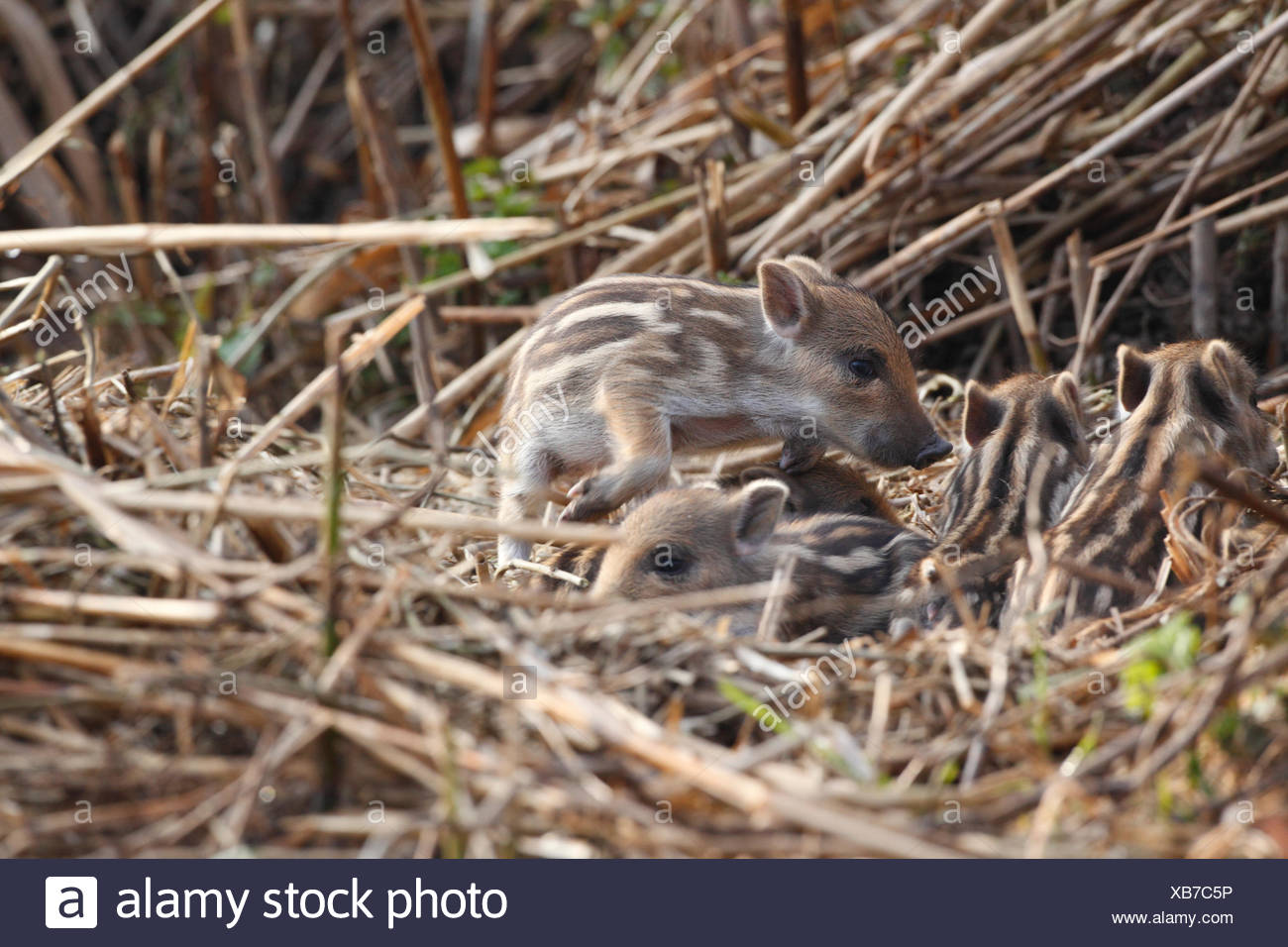 Young Wild boars in reed - Offendorf Alsace France - Stock Image