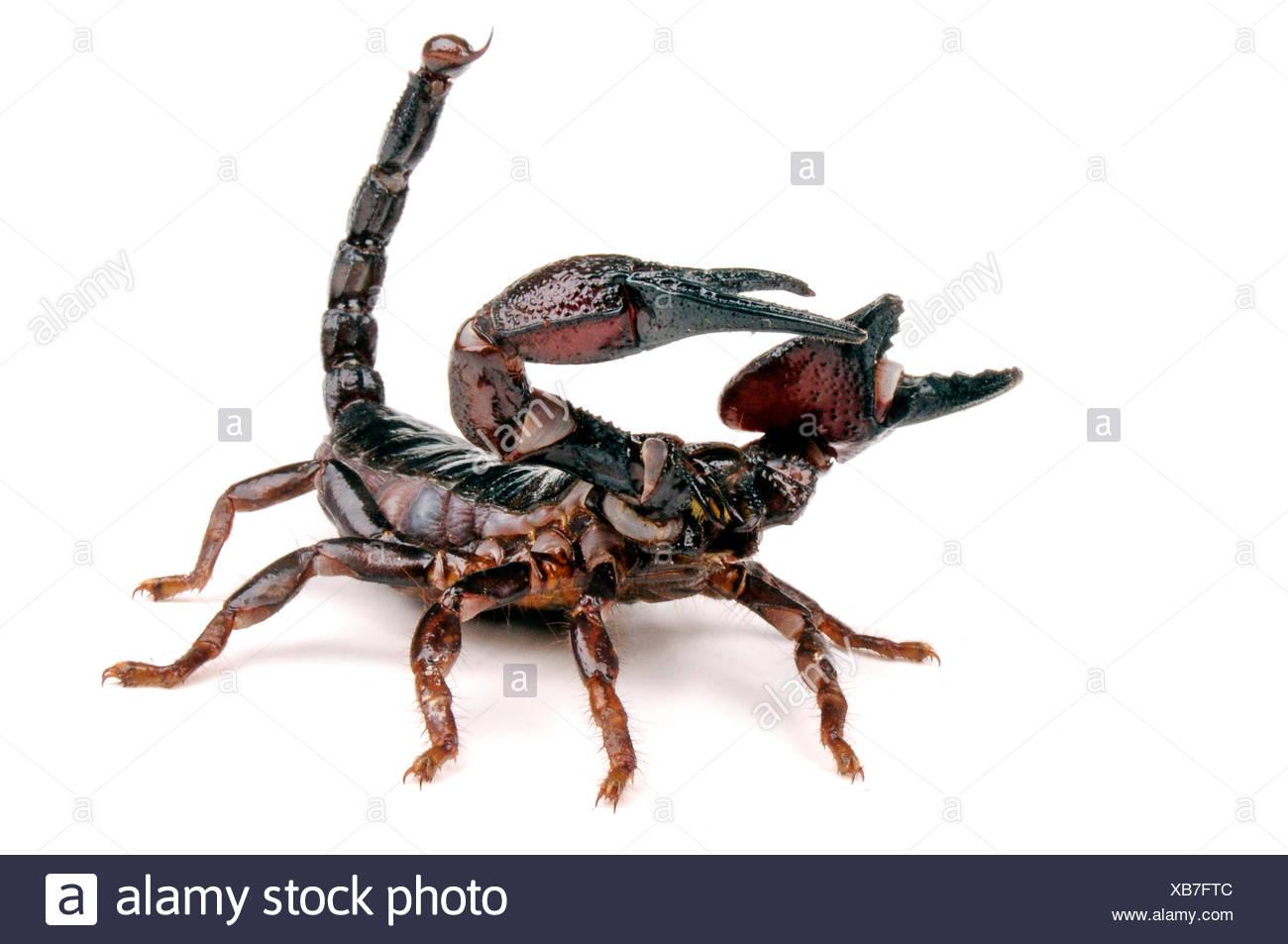 Tanzanian Red Clawed Scorpion (Pandinus cavimanus), in defence posture - Stock Image