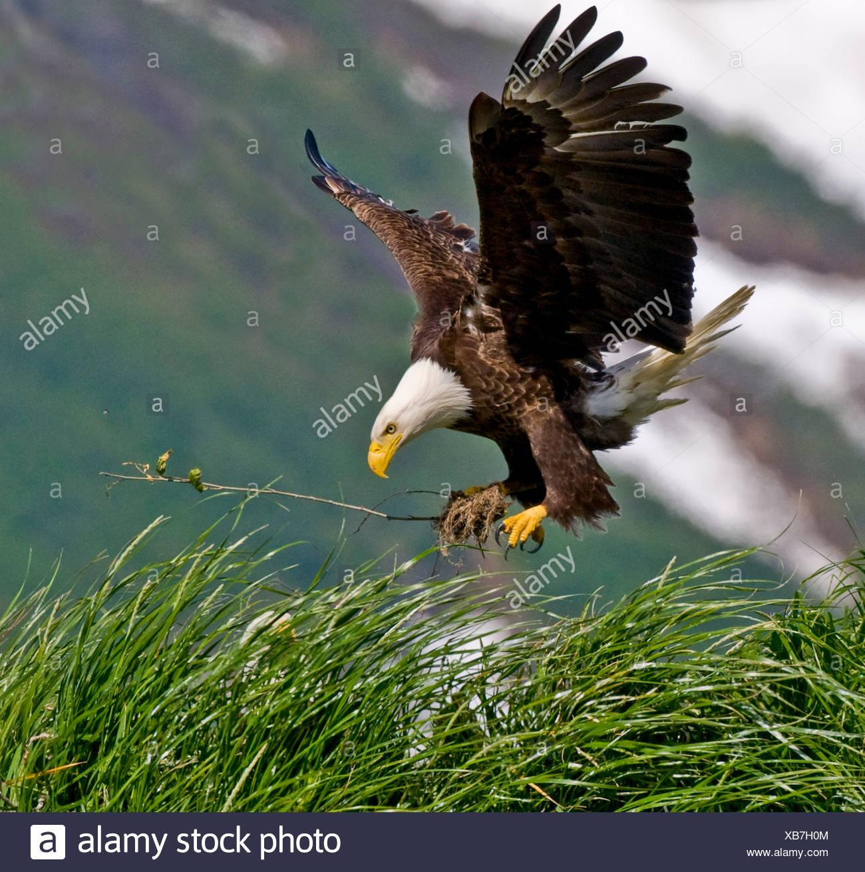 Bald Eagle gathering materials for a nest, Kukak Bay, Katmai National Park, Alaska, Summer - Stock Image