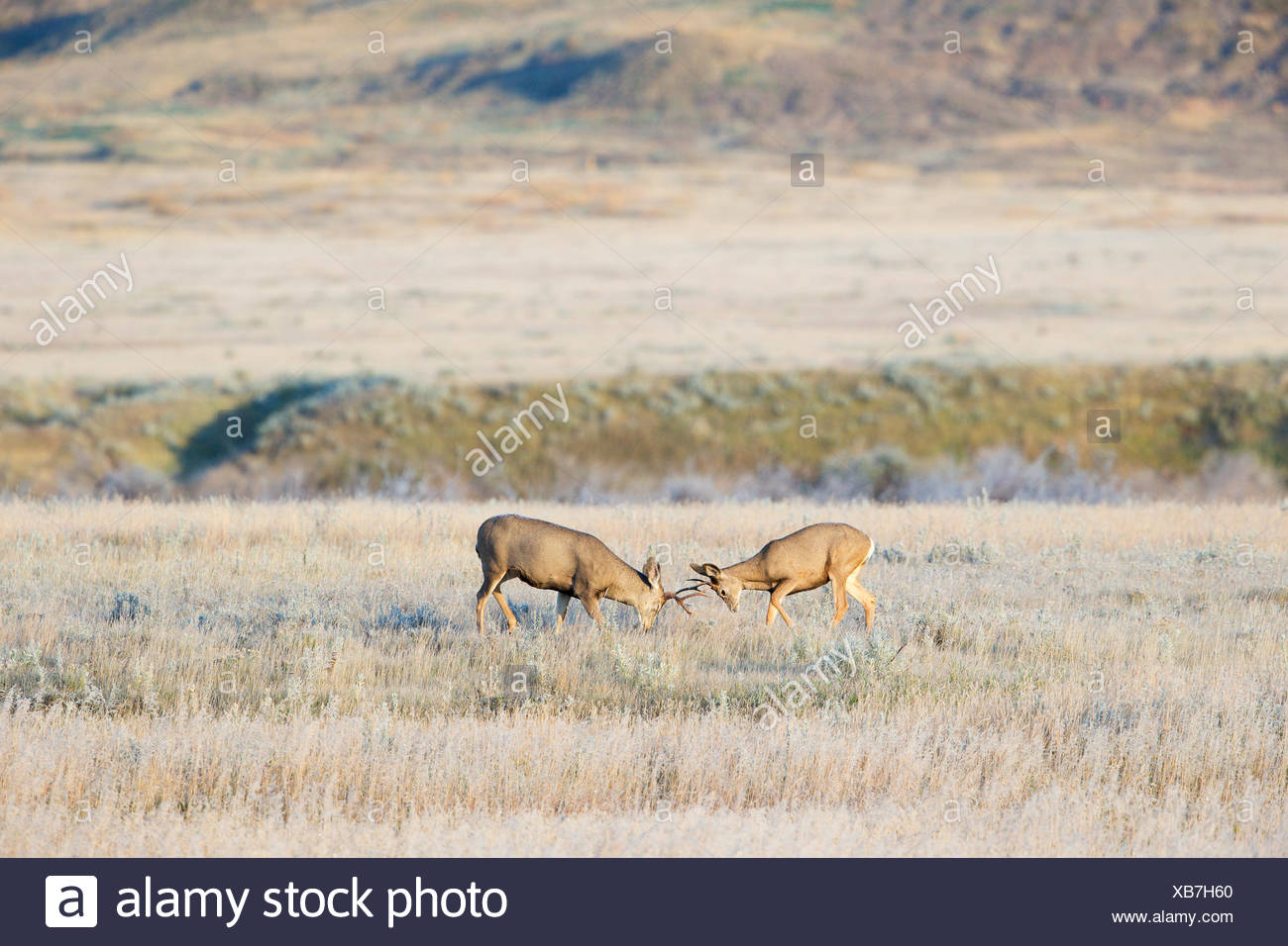 Mule deer (Odocoileus hemionus), bucks sparring on a frosty fall morning, Grasslands National Park, Saskatchewan. (One is a - Stock Image
