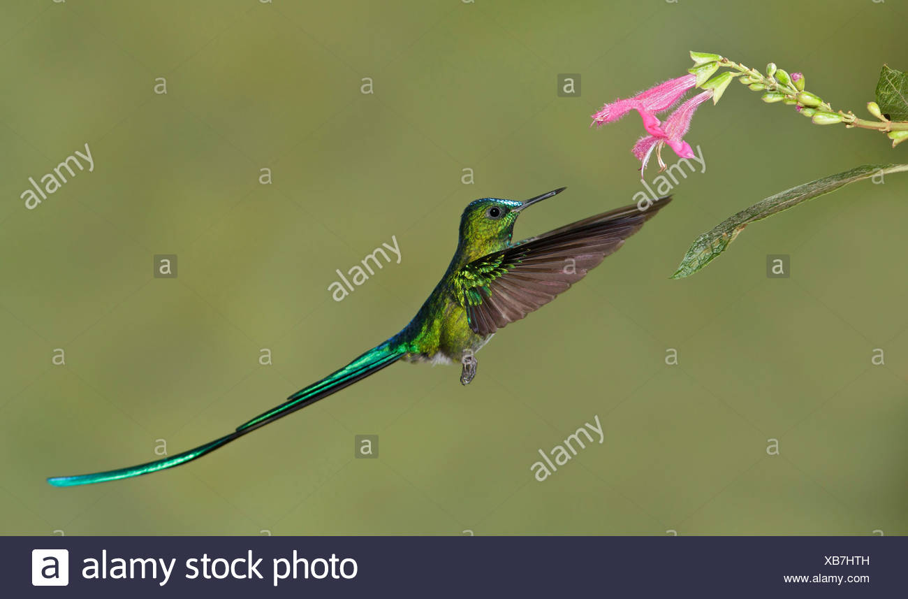 Long-tailed Sylph (Aglaiocercus kingi) flying while feeding at a flower in Ecuador. - Stock Image