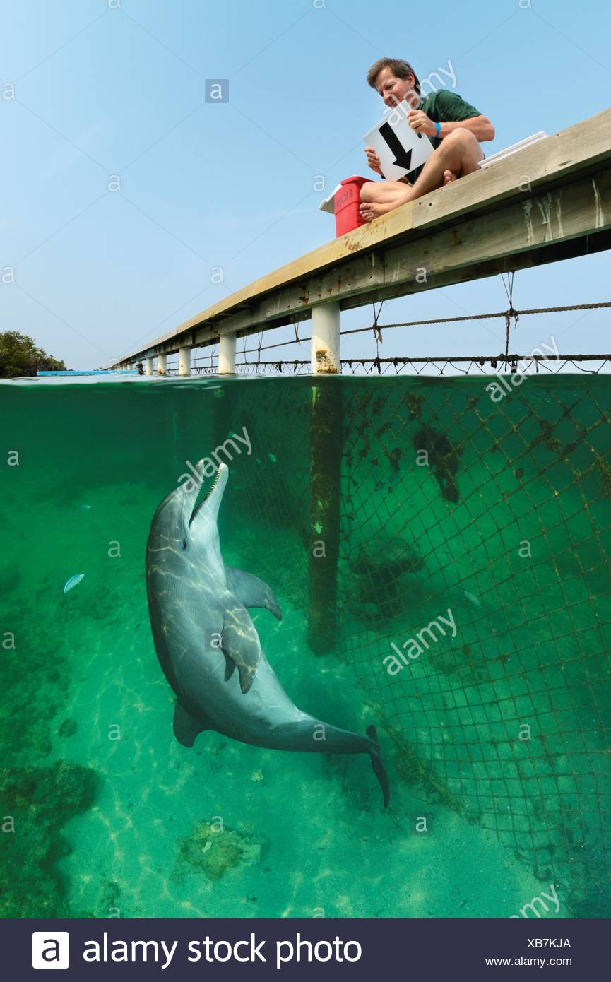 Reading Stan Kuczaj's command--the arrow means 'sink backward to the ocean floor'--is child's play for this bottlenose dolphin. - Stock Image