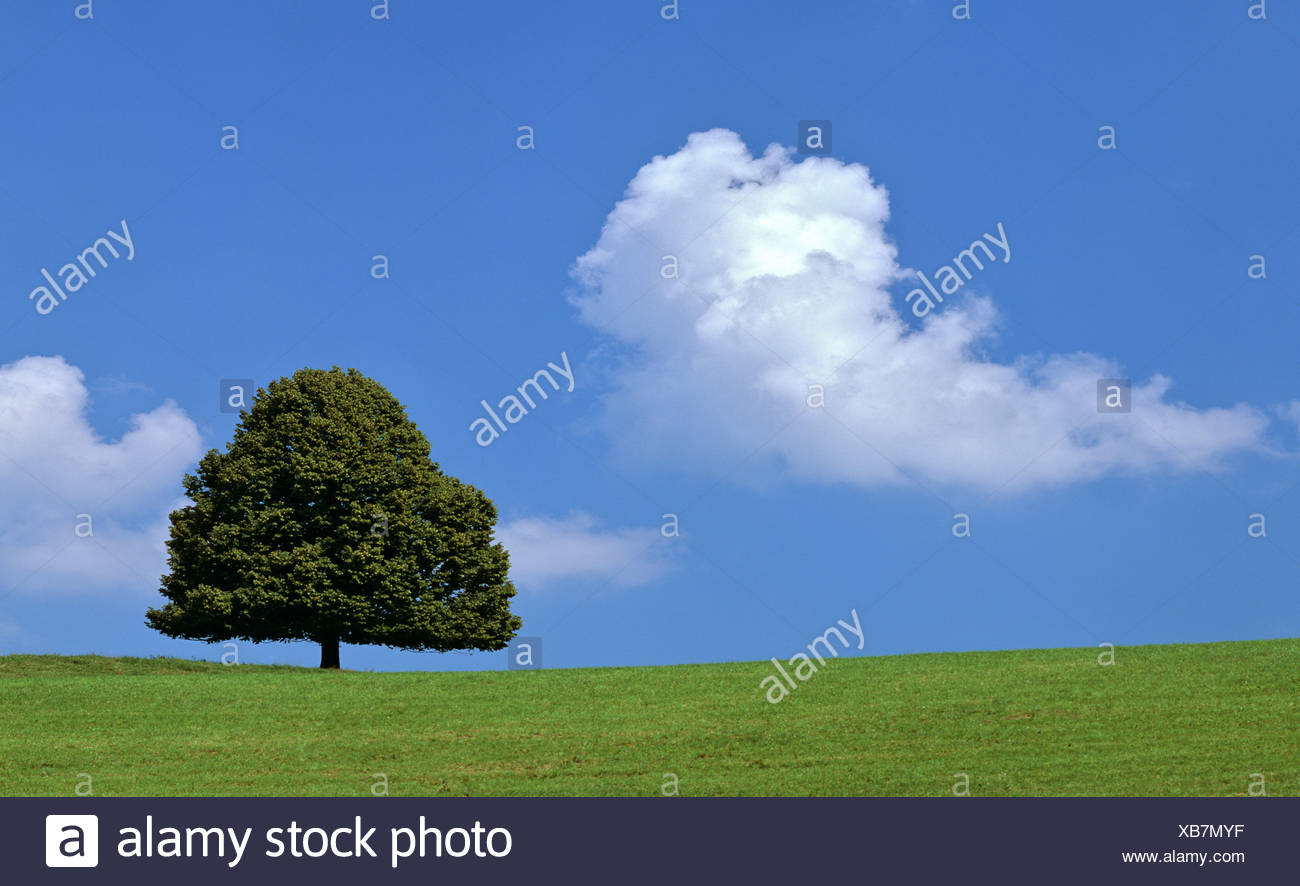 Lime tree (Tilia) on a summer meadow, cumulus cloud - Stock Image