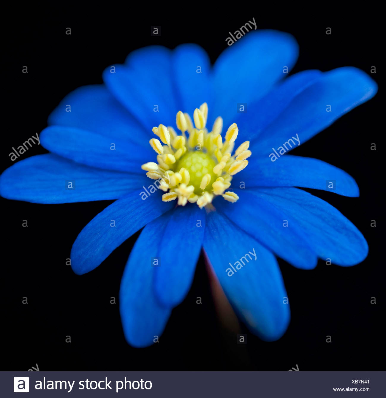 Anemone, single blue flower against a black background. - Stock Image