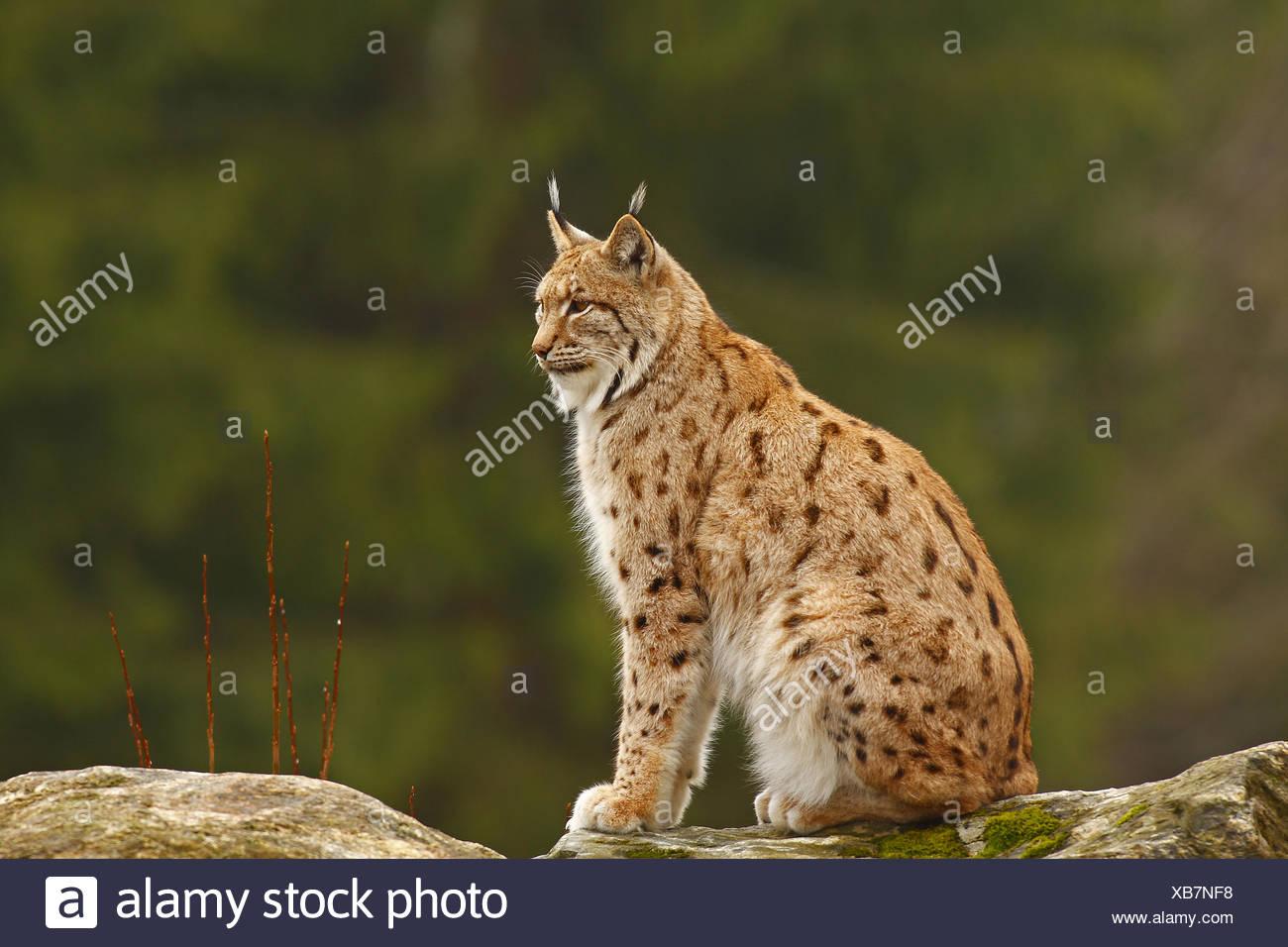 European, fauna, Feloidea, catlike, land vertebrate, lynx, lynxes, lynx lynx, Mammalia, nature, predator, mammal - Stock Image