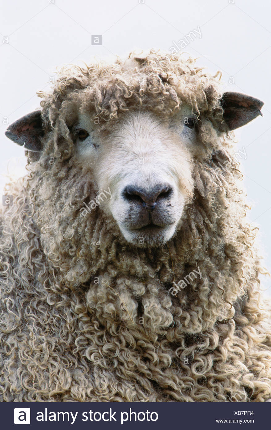 Sheep portrait, Isle of Skye, Scotland - Stock Image