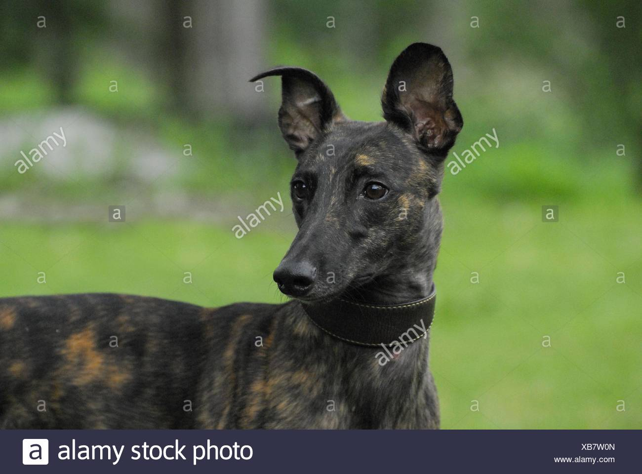 sighthound portrait Stock Photo