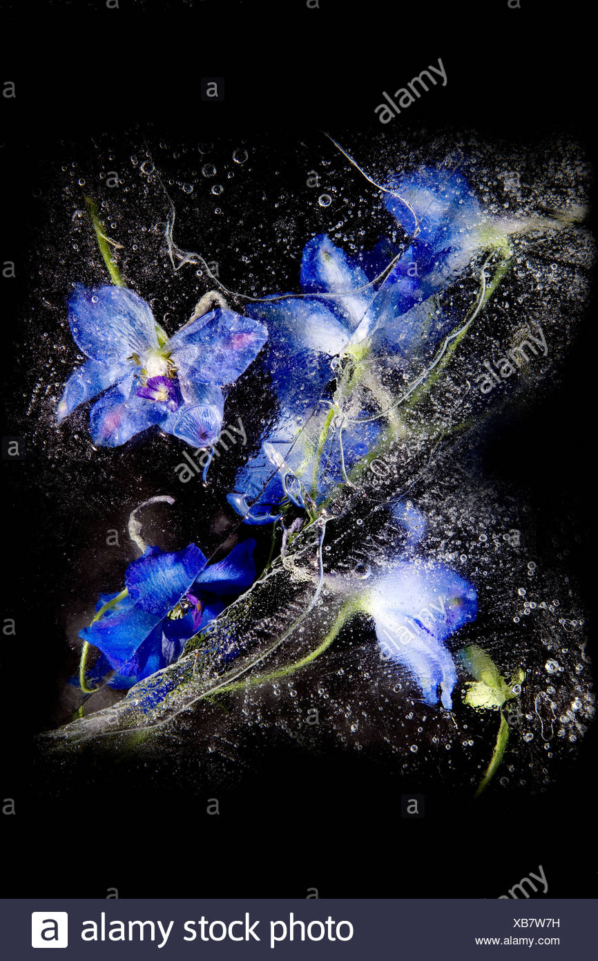 Blue flowers frozen in ice - Stock Image