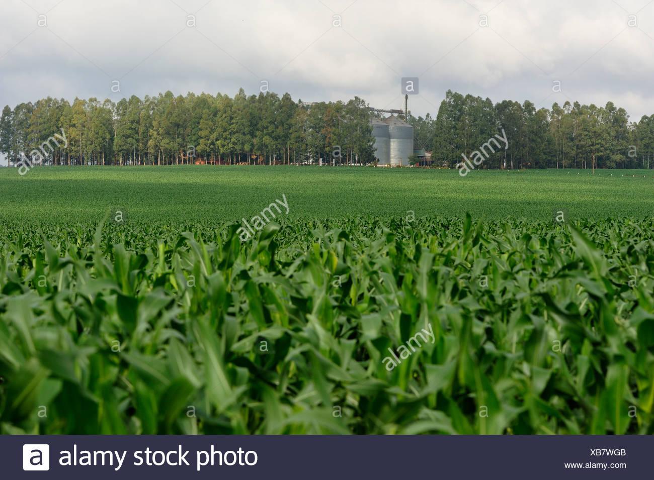 Cornfield, genetically modified corn and a silo, Alto Parana, Paraguay, South America - Stock Image